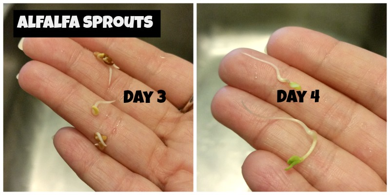 Alfalfa Sprouts Sprouting