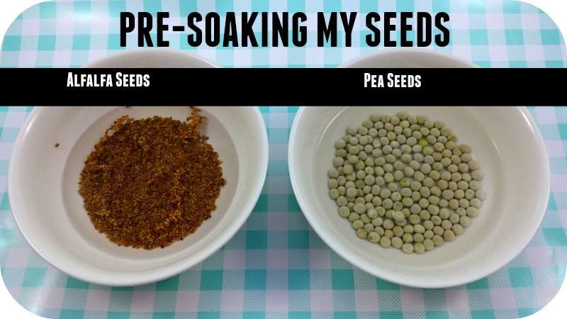Pre-Soaking Sprouting Seeds