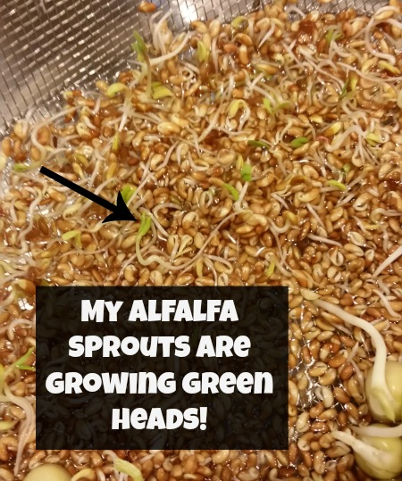 Sprouting Alfalfa Sprouts