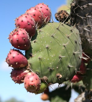 Prickly Pear Seed Oil Recipes